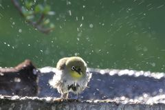 Bird Bath. Small white-eye bird enjoying a bath in the sun Royalty Free Stock Photos