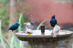 Bird bath splash. Small birds splash and shake in cement bird bath Royalty Free Stock Images