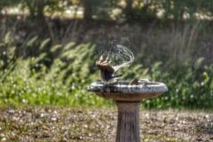 Bird bath. Water sprays off bird in backyard bird bath Stock Photos
