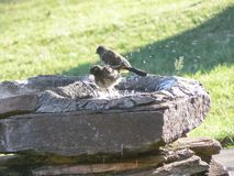 Bird in a birdbath. A bird bathes in a birdbath Stock Photo
