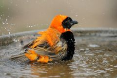 Bird Bathing Stock Images