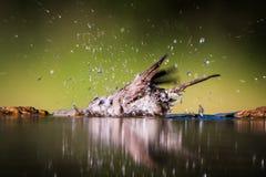 Bird bathing Royalty Free Stock Photo