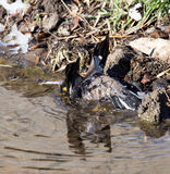 Bird bathing in a puddle Royalty Free Stock Image