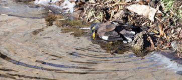 Bird bathing in a puddle. In the park in nature Royalty Free Stock Photography