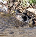 Bird bathing in a puddle. In the park in nature Royalty Free Stock Photo