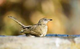 Bird bathing Stock Photo
