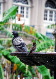 Bird baths. A pigeon and bird bathing in a fountain Stock Images