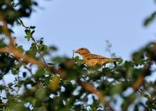 Bird_Baya Weaver_perched_tree branch_green des lames Photos libres de droits