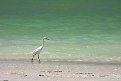 Bird on Beach. A wading bird wanders down the beach royalty free stock image