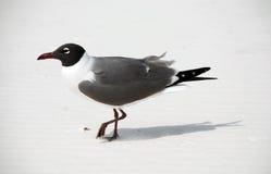 Bird on beach. Bird walking on beach, Florida Stock Image