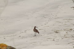 The bird of the beach. This is a beautiful photo of a galician bird on the beach Royalty Free Stock Photos
