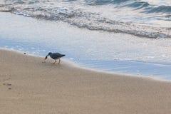 Bird on Beach. Bird finding food on the beach at sunset royalty free stock photos