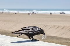 Plastic Pollution. A bird at the beach holding a piece of plastic in his beak Stock Photo