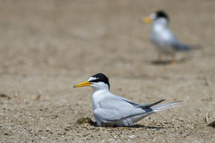 Bird on beach. A Little tern or Sternula albifrons, the beautiful birds guarding their chicks on the coast while feeding season Stock Images