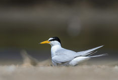 Bird on beach. A Little tern or Sternula albifrons, the beautiful birds guarding their chicks on the coast while feeding season Stock Image
