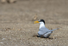 Bird on beach. A Little tern or Sternula albifrons, the beautiful birds guarding their chicks on the coast while feeding season Royalty Free Stock Image