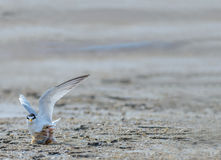 Bird on beach. A Little tern or Sternula albifrons, the beautiful birds guarding their chicks on the coast while feeding season Stock Photography