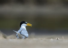 Bird on beach. A Little tern or Sternula albifrons, the beautiful birds guarding their chicks on the coast while feeding season Royalty Free Stock Images