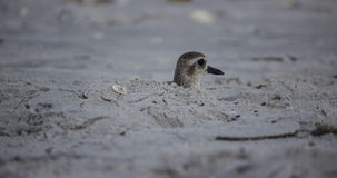 Bird on Beach Poking Head out of Hole Royalty Free Stock Images