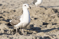 The bird is on the beach. Royalty Free Stock Photography