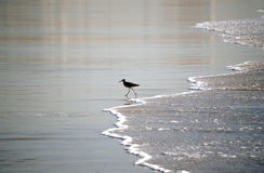 Bird on the beach Royalty Free Stock Image