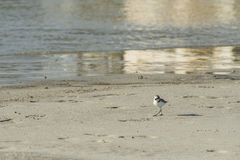 Bird beach Sanderling searching crab in Oman - Calidris alba  Royalty Free Stock Images