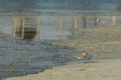 Bird beach Sanderling searching crab in Oman - Calidris alba  Stock Photography