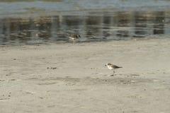 Bird beach Sanderling searching crab in Oman - Calidris alba royalty free stock photos