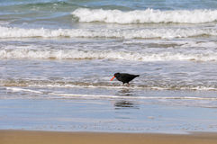 Bird on the beach in Southern Scenic Route, New Zealand. Black bird walking on the beach in the Southern Scenic Route, New Zealand Stock Photo