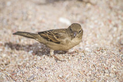 Bird on the beach (sparrow) Royalty Free Stock Image