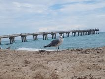 Bird on the Beach in Sunny isle Beach Florida. Sand, oceab, ocean, sea, travel, piet, pier, fiahinf, fishing, waves, atlantic, miami, flock, fly, still, animal royalty free stock image