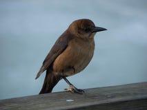 The bird on the beach. The bird was on the dock at Daytona Beach, Florida, U.S.A Stock Photo
