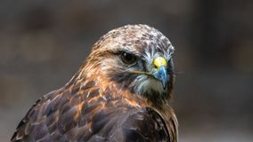 Bird, Beak, Bird Of Prey, Hawk Stock Image