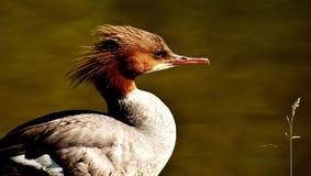 Bird, Beak, Duck, Fauna Royalty Free Stock Images