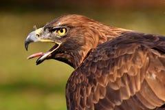 Bird, Beak, Eagle, Bird Of Prey royalty free stock photos