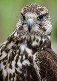 Bird, Beak, Falcon, Hawk Stock Images