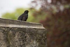 Bird, Beak, Fauna, Blackbird Royalty Free Stock Photography