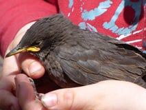 Bird, Beak, Fauna, Blackbird Stock Photography