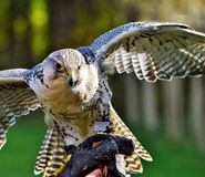 Bird, Beak, Fauna, Falcon Stock Photography