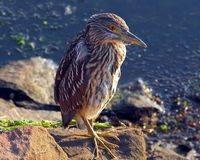 Bird, Beak, Fauna, Green Heron Stock Image