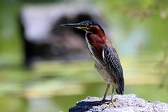Bird, Beak, Fauna, Green Heron Stock Photo