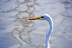 Bird, Beak, Great Egret, Egret Royalty Free Stock Image