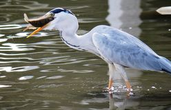 Bird, Beak, Heron, Fauna Royalty Free Stock Images