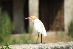 Bird, Beak, Ibis, Egret