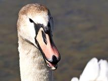 Bird, Beak, Swan, Water Bird royalty free stock photo