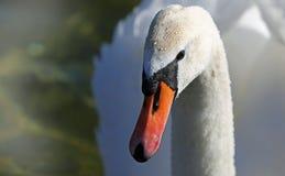 Bird, Beak, Swan, Water Bird Royalty Free Stock Image