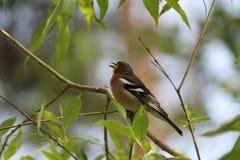 Bird. Beautiful little wild bird finch song in green bush in warm spring morning Royalty Free Stock Photography