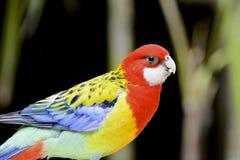 Bird. Beautiful multi-color bird photographed in nature Stock Image