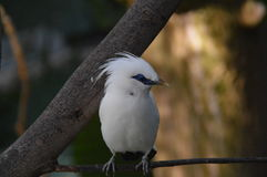 Bird. Beautiful white bird looking showing off his blue eyes Stock Image