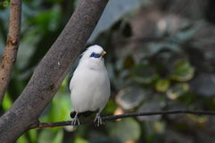 Bird. Beautiful white bird looking showing off his blue eyes Royalty Free Stock Image